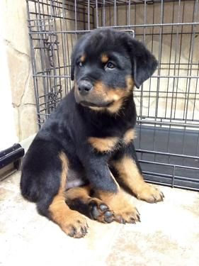 1st Pick Rottweiler Male Puppy Come Meet Him Today With Images