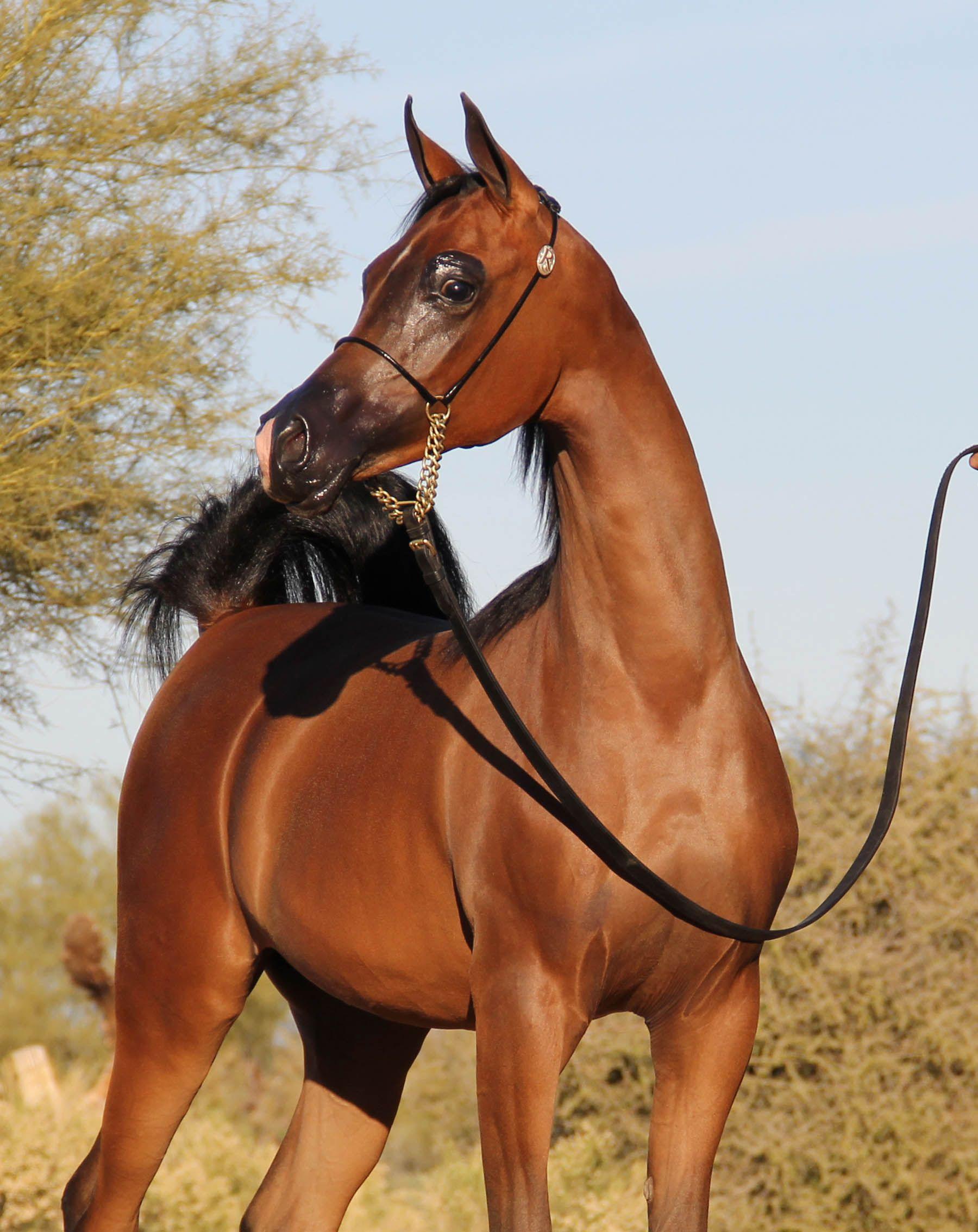 Rejoice Dsw Pcf Vision X April In Parys Arabian Horse Arabian