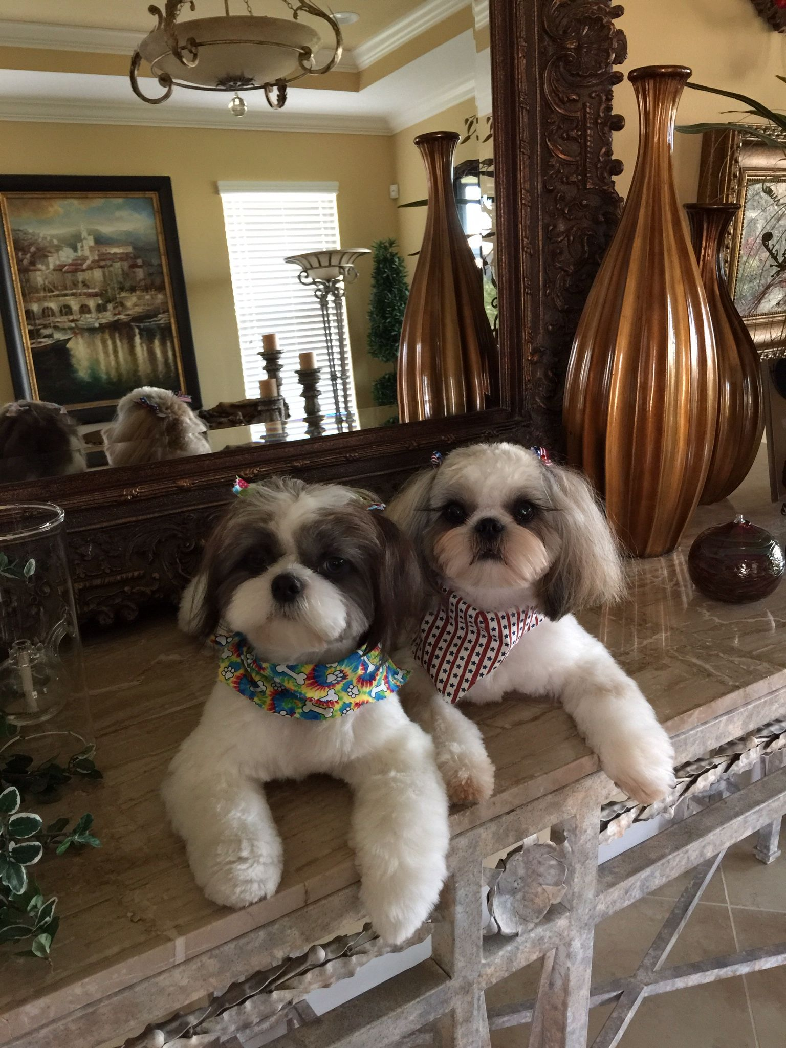 First Haircut For Chance And Coco Aww Pinterest Haircuts Shih