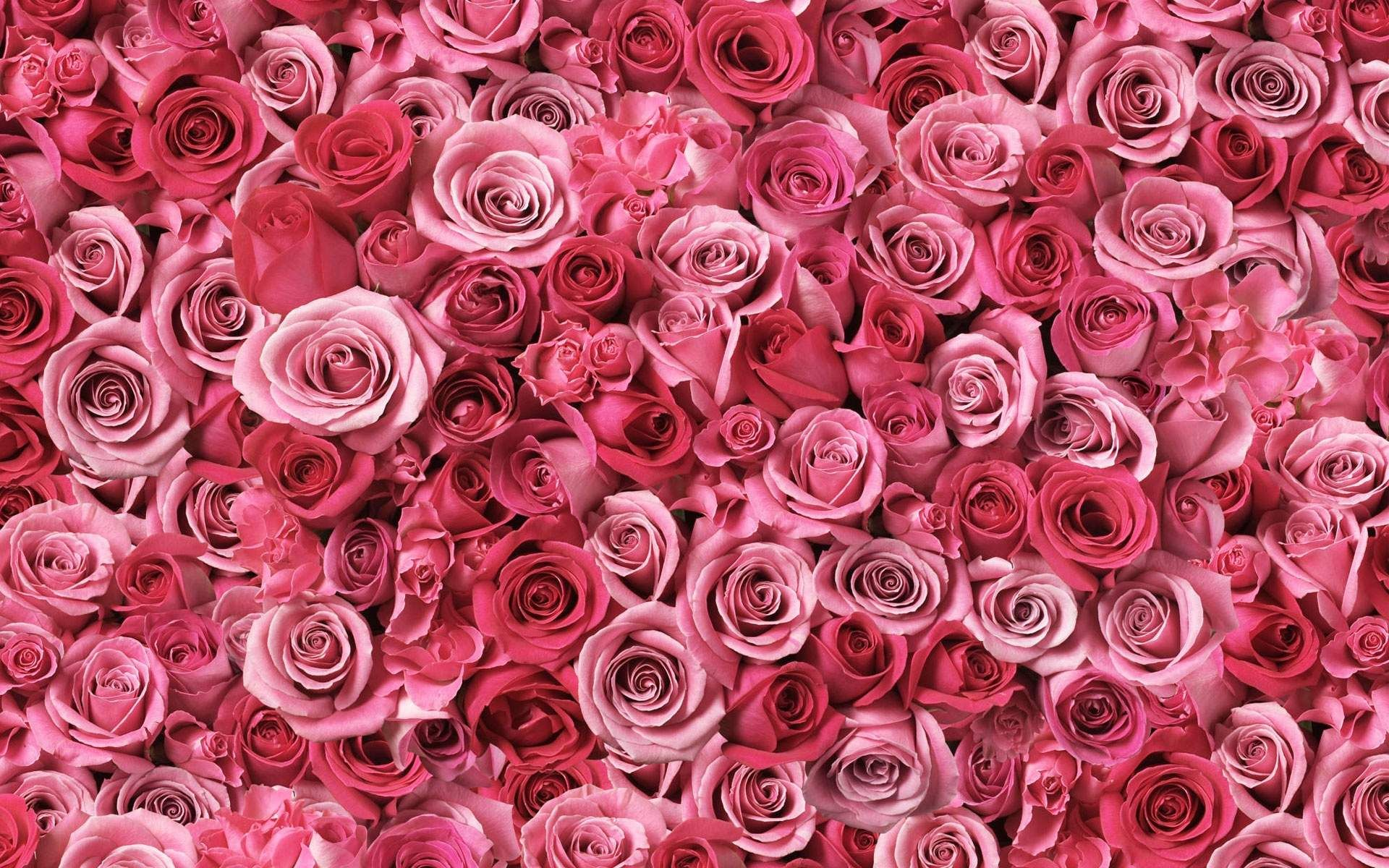 Pink Pictures Beautiful Wallpapers38 Blooming Rose Flowers Animated