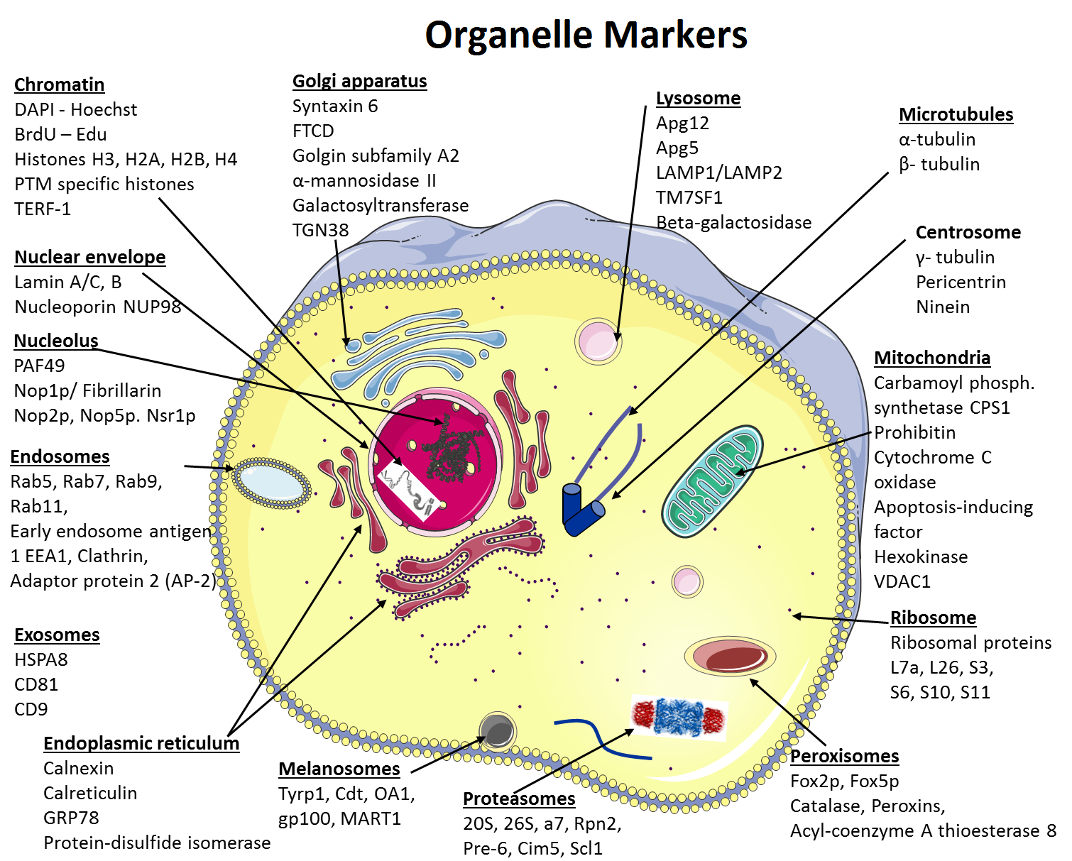Te 181 1 Png 1510 1213 Cell Organelles Organelles Functions Organelles