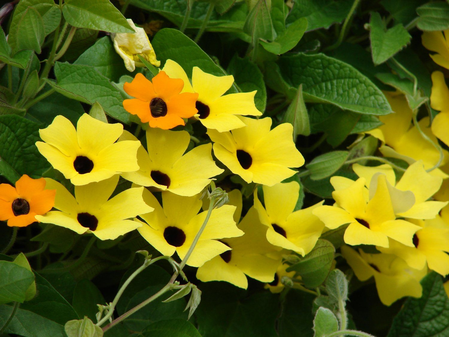 Blackeyedsusanvinethunbergiaalata 20seeds flowers daisies becomes really busy its exciting to study new plant adventures have you tried thunbergia alata i like botanical names because they take the guessw izmirmasajfo