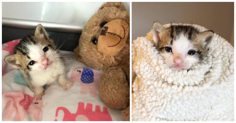 3 Week Old Kitten Saved By Teddy Bear Kitty Little Kitty Foster Kittens