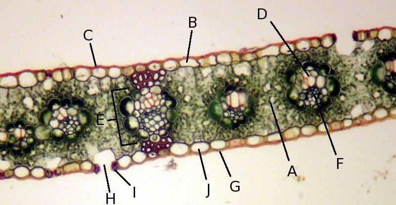 Zea mays (corn, a monocot) leaf cross section, 100X. A ...