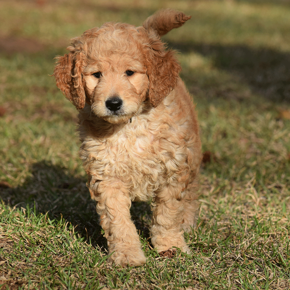 Beautiful Goldendoodle Puppy Puppies, Goldendoodle puppy