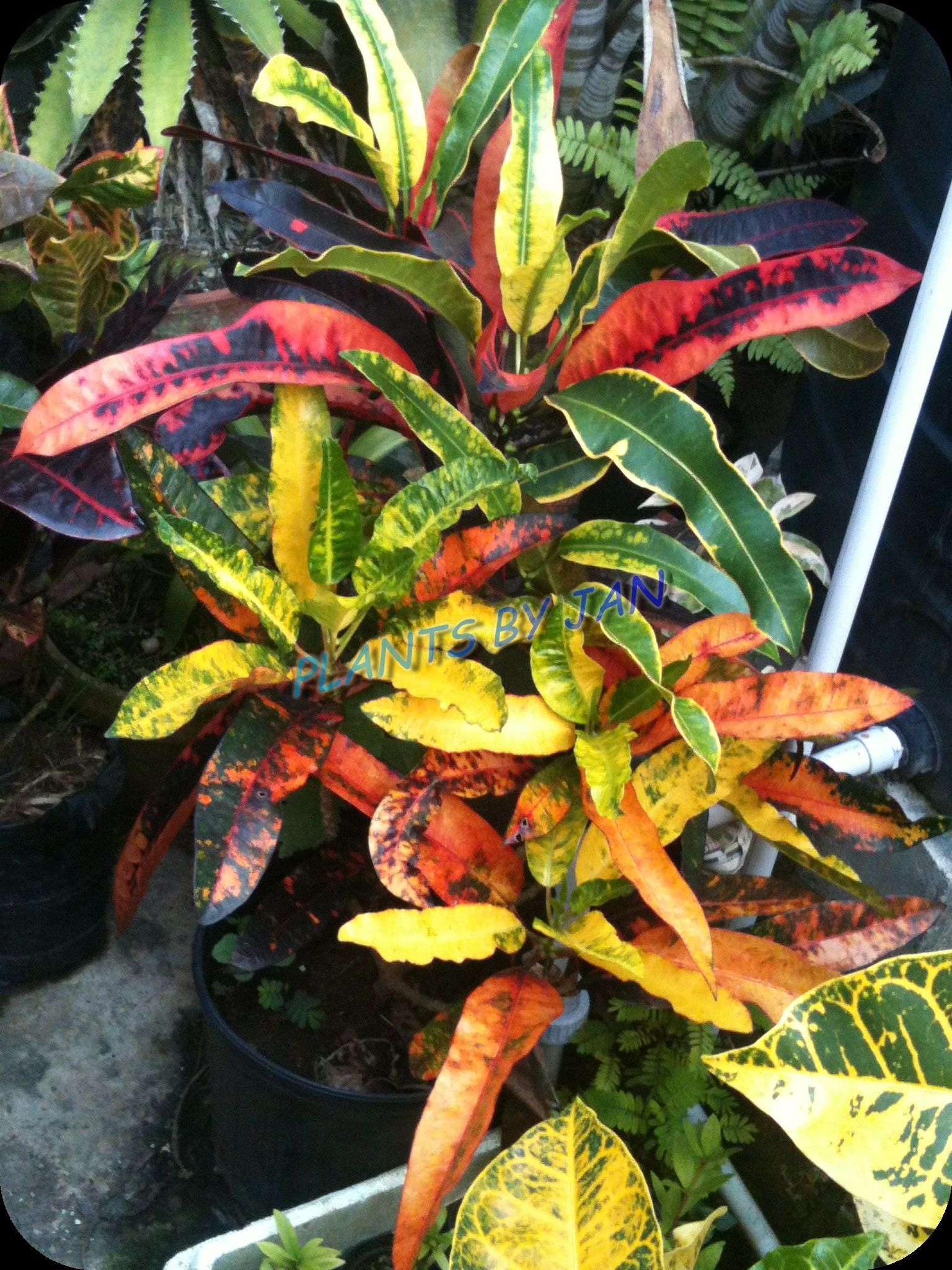 Crotons Just Did My Lawn In These I Love Crotons Such A 400 x 300