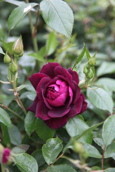 Rosa Burgundy Ice Prose Pbr Rose Burgundy Ice Floribunda Beautiful Roses Planting Roses Rose
