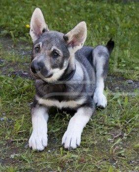 Jamthund Jamthund Swedish Elkhound Dog Puppy Unique Dog Breeds Popular Dog Breeds Dog Breeds