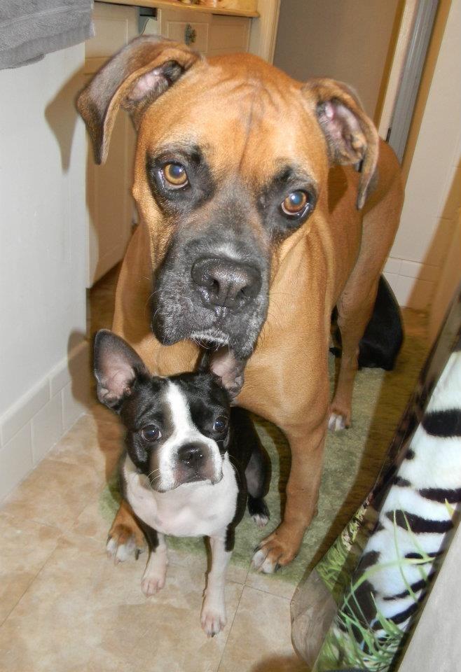 Http Ibostonterrier Com Wp I Love Dogs Best Dogs