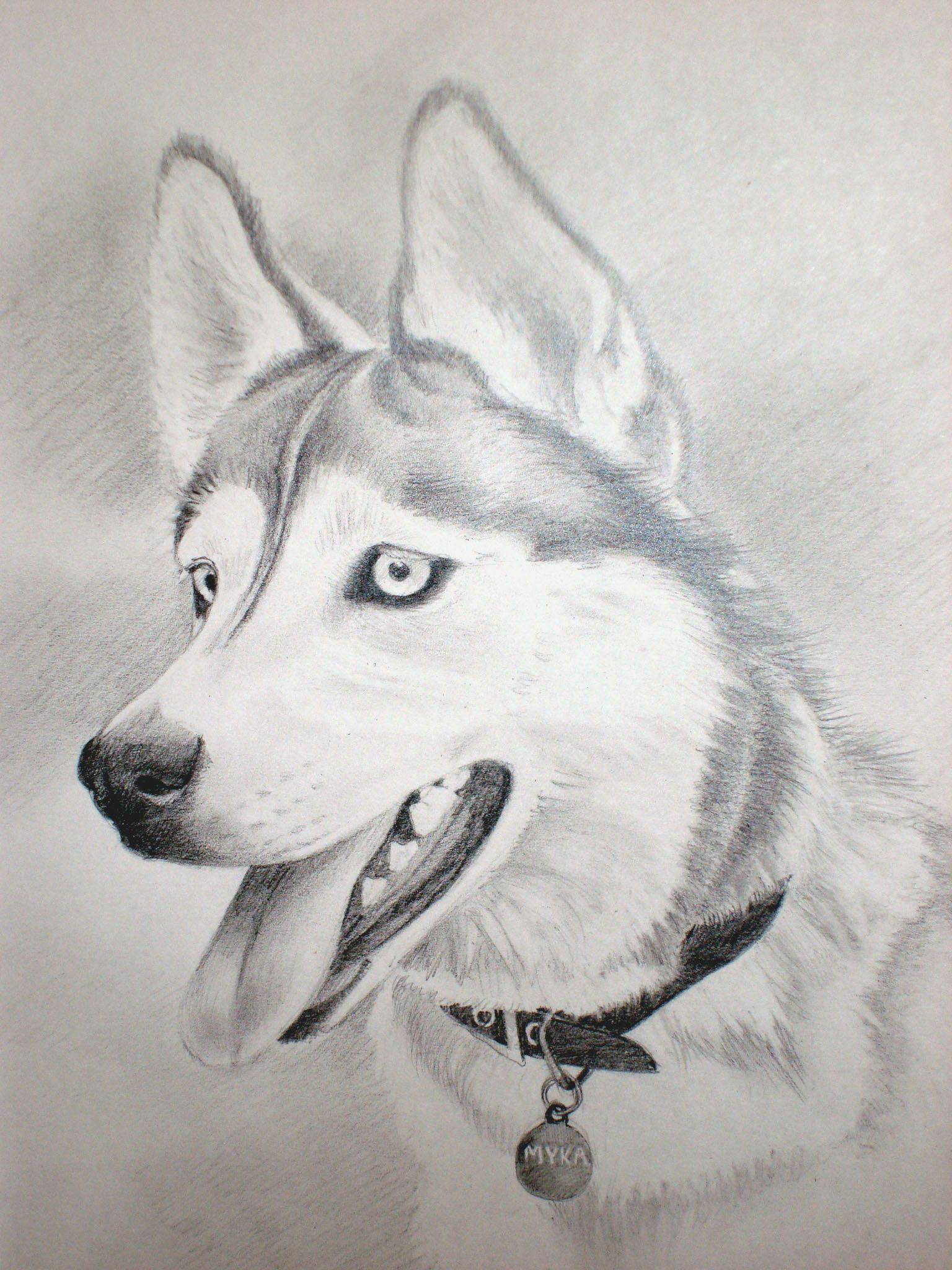 Charcoal Drawing Siberian Husky | Husky Drawing A husky named myka ...