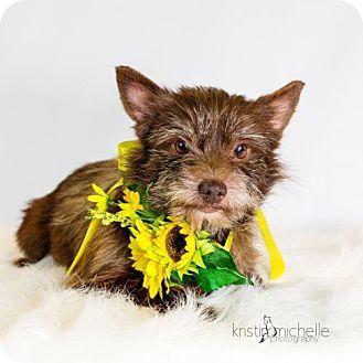 St Louis Park Mn Pomeranian Yorkie Yorkshire Terrier Mix Meet Muppet A Dog For Adoption Dog Adoption Kitten Adoption Pets