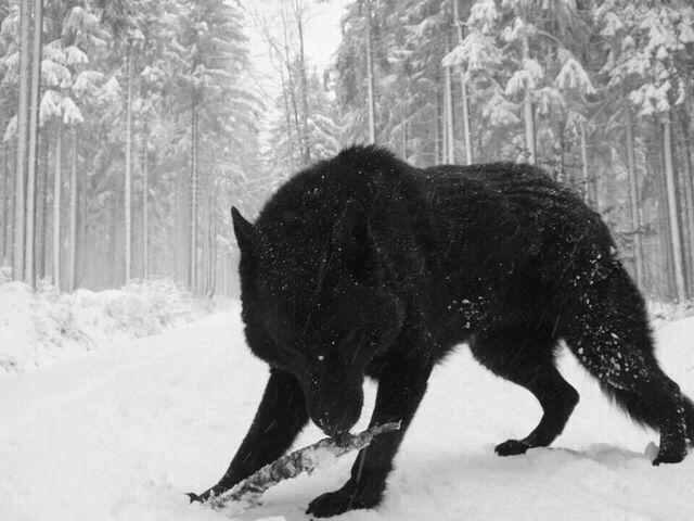 Lobos Salvajes, Lobos Y Perro Lobo