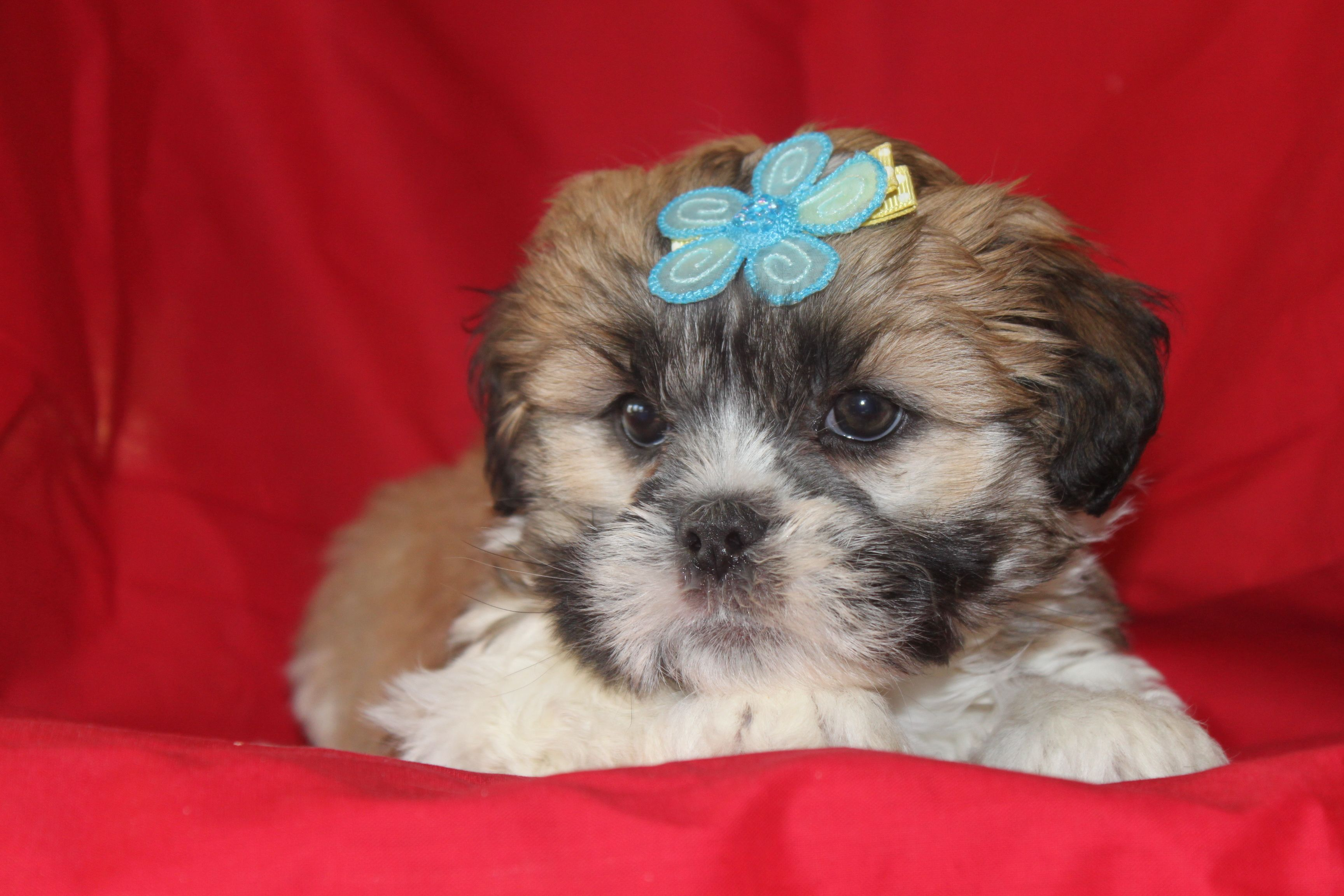 Lhasa Puppies This Is A Male Lhasa Apso Puppy For Sale And He Is