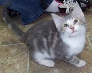 Adopt Buster On Grey Cats Tabby Cat Kittens