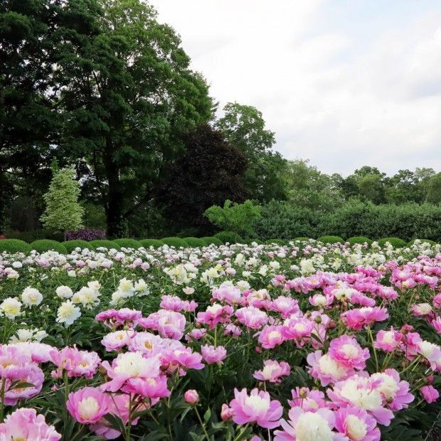 Lovely On Sunday, The Peony Garden Looked Quite Different. There Are So Many, Many  Types Of Herbaceous Peonies To Choose From Today, And They Should Be An  Integral ...