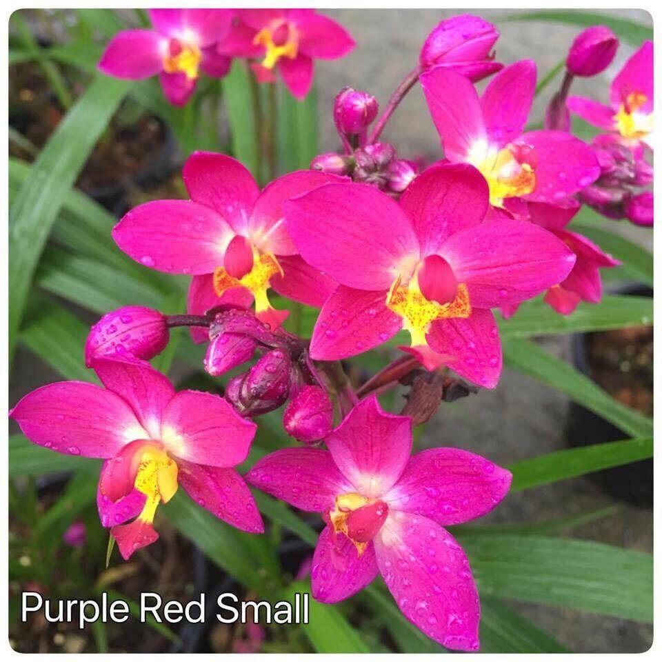 Spathoglottis Ground Orchids Beautiful Flowers Orchids