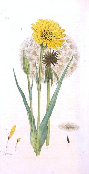 Botanical Flower Dandelion Flower And Seeded Jpg 1 768 3 465 Pixels Botanical Drawings Botanical Flowers Dandelion Drawing