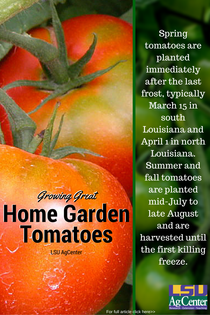 Every Backyard Garden Needs At Least One Tomato Plant Sneaking Tomatoes Into Your Garden Or Landscape Is Tomato Garden Lawn And Garden Tomato Plants