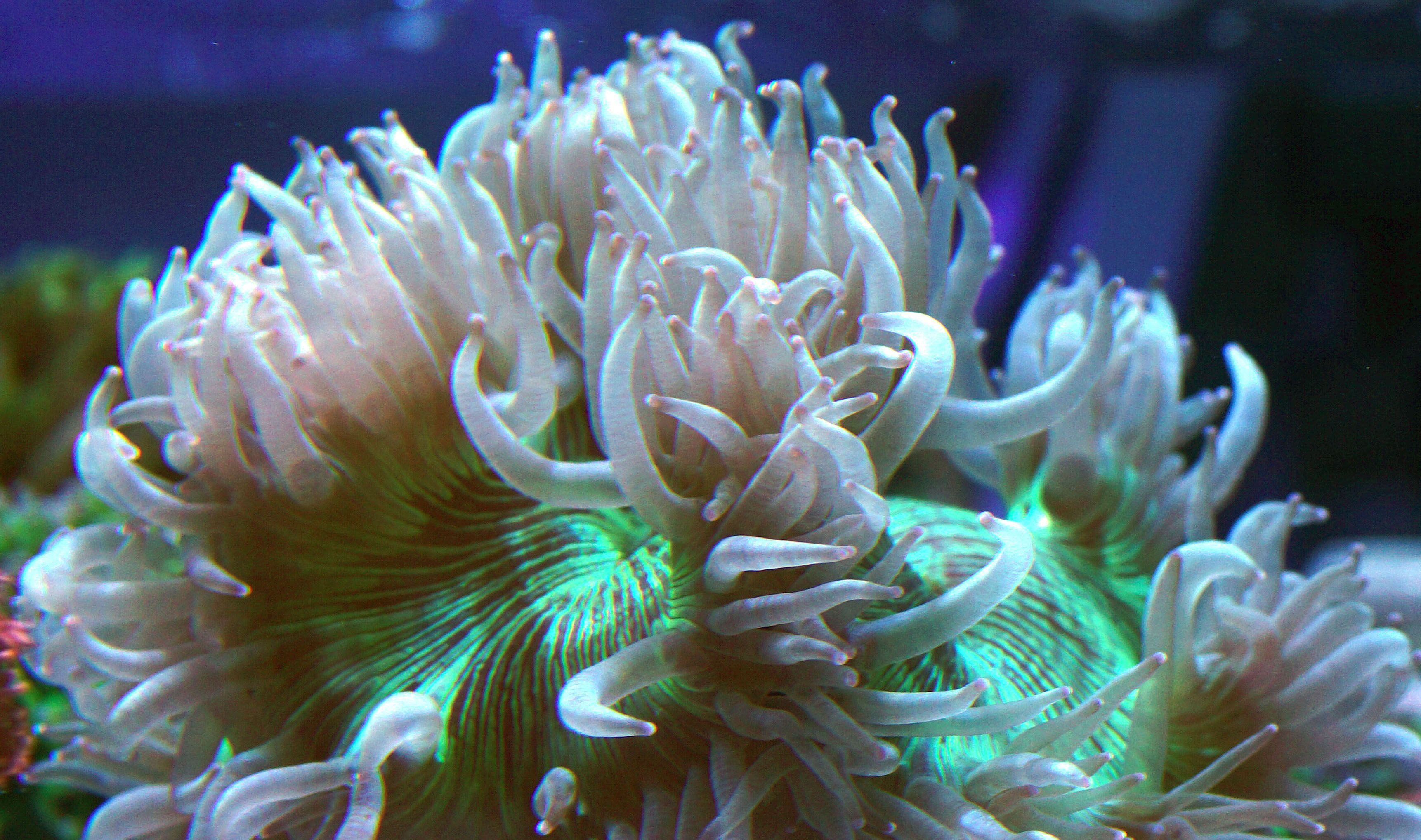 Wwwreefcornercom Category Lps Large Polyp Stony Common Name