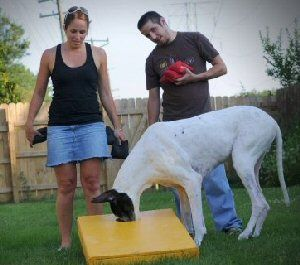 Pin By Floyd Barker On Great Danes Great Dane Rescue Success
