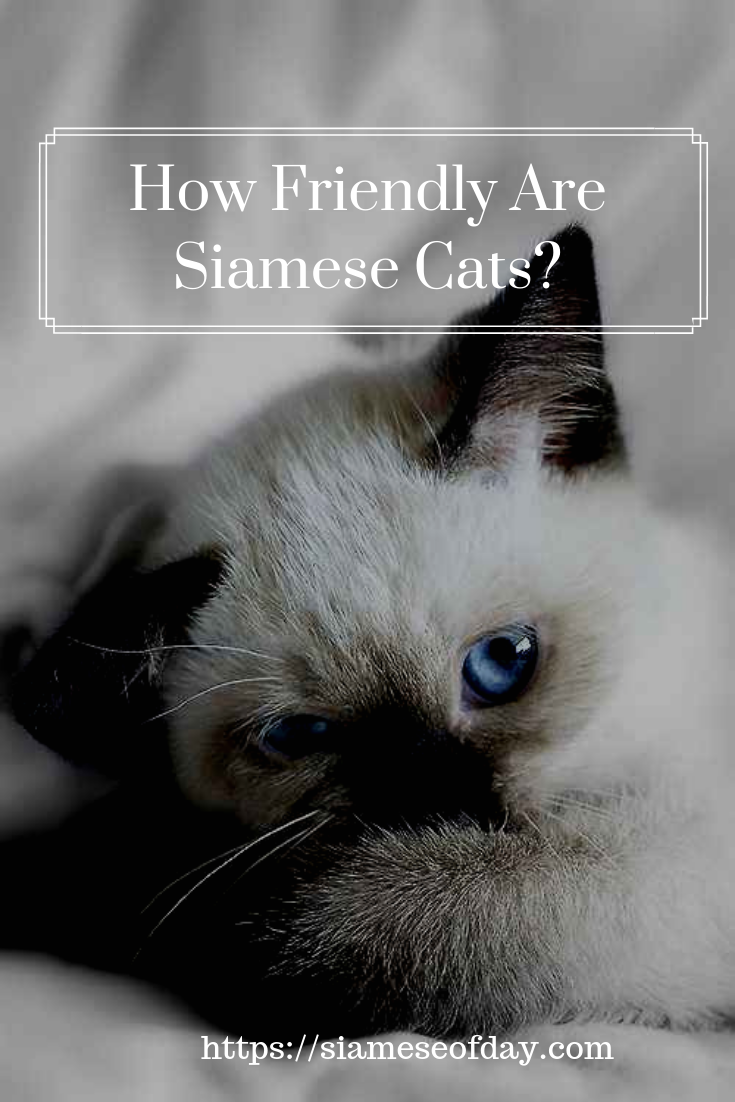 29 Fun Facts You Didn't Know About Siamese Cats Siamese