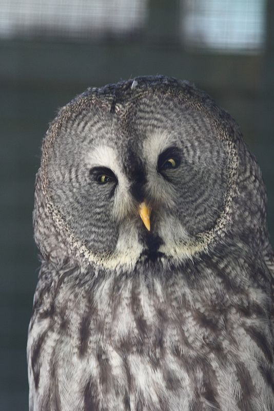 """ Marshall, Great Grey Owl (Photo by Woodstck83) """