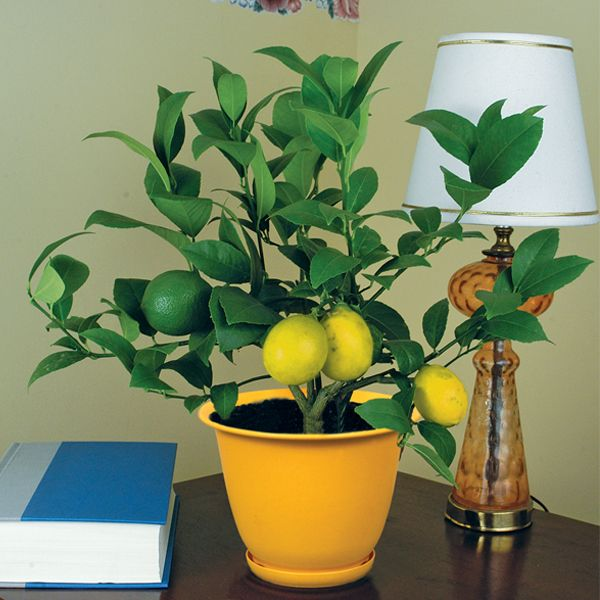 meyer lemon tree- been looking for a tree to keep in a pot on my balcony and this will be perfect! not too big to switch inside in winter and who doesn't want free lemons for drinks?!