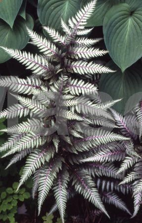 Japanese Painted Fern Silver Falls - This will look great between some Hostas!