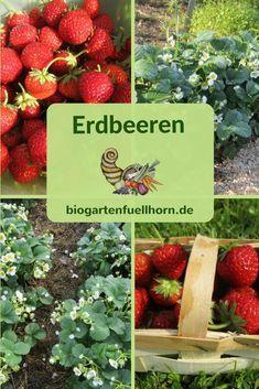 Der Anbau von Erdbeeren | Biogarten Füllhorn #gartenrecycling