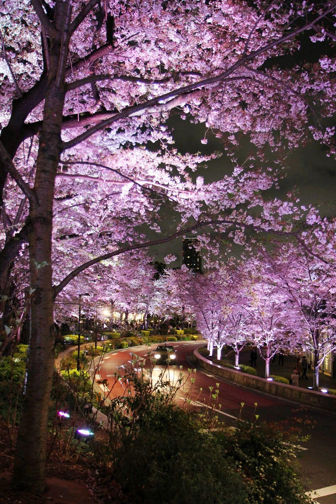 Todayintokyo Cherry Blossom Tokyo Midtown Scenery