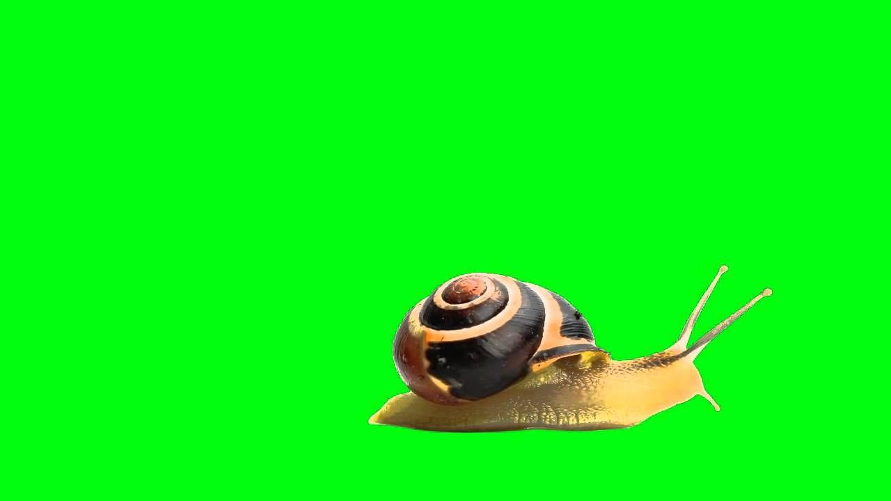 Free Green Screen - snail walking - Caracol caminando. Schnecke Walking - 歩くカタツムリ - 蝸牛散步