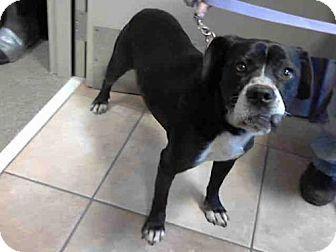 Statesville, NC Boxer/Labrador Retriever Mix. Meet ROXY