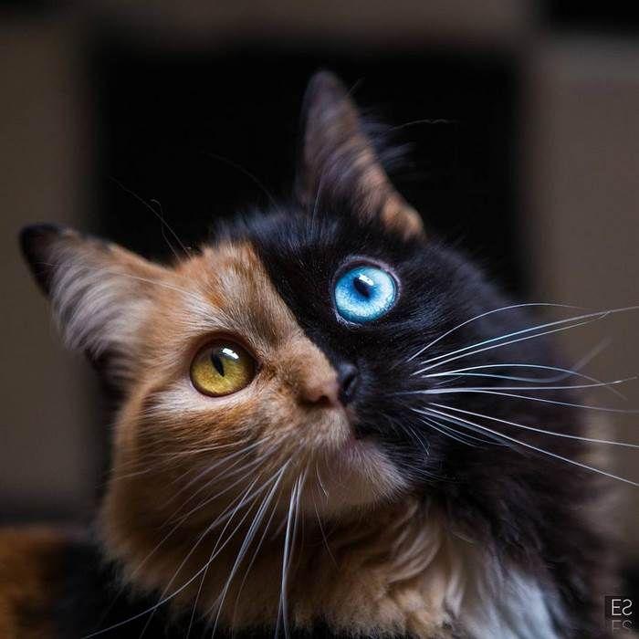 Photo of Ce 'chat chimère' est la plus belle erreur génétique que la Nature ait jamais produite