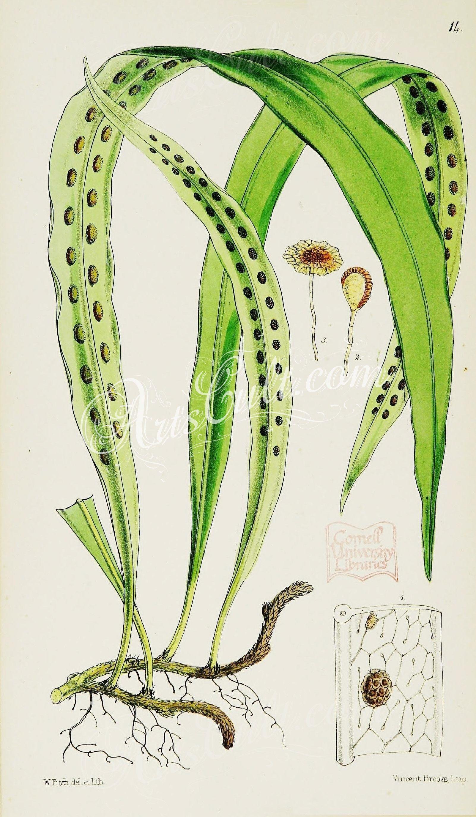 014-Strap-shaped Polypody, polypodium loriforme   ...
