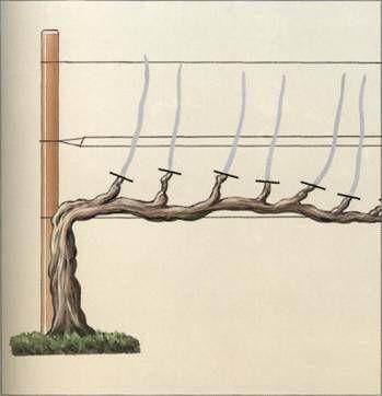 фото подпорки для винограда