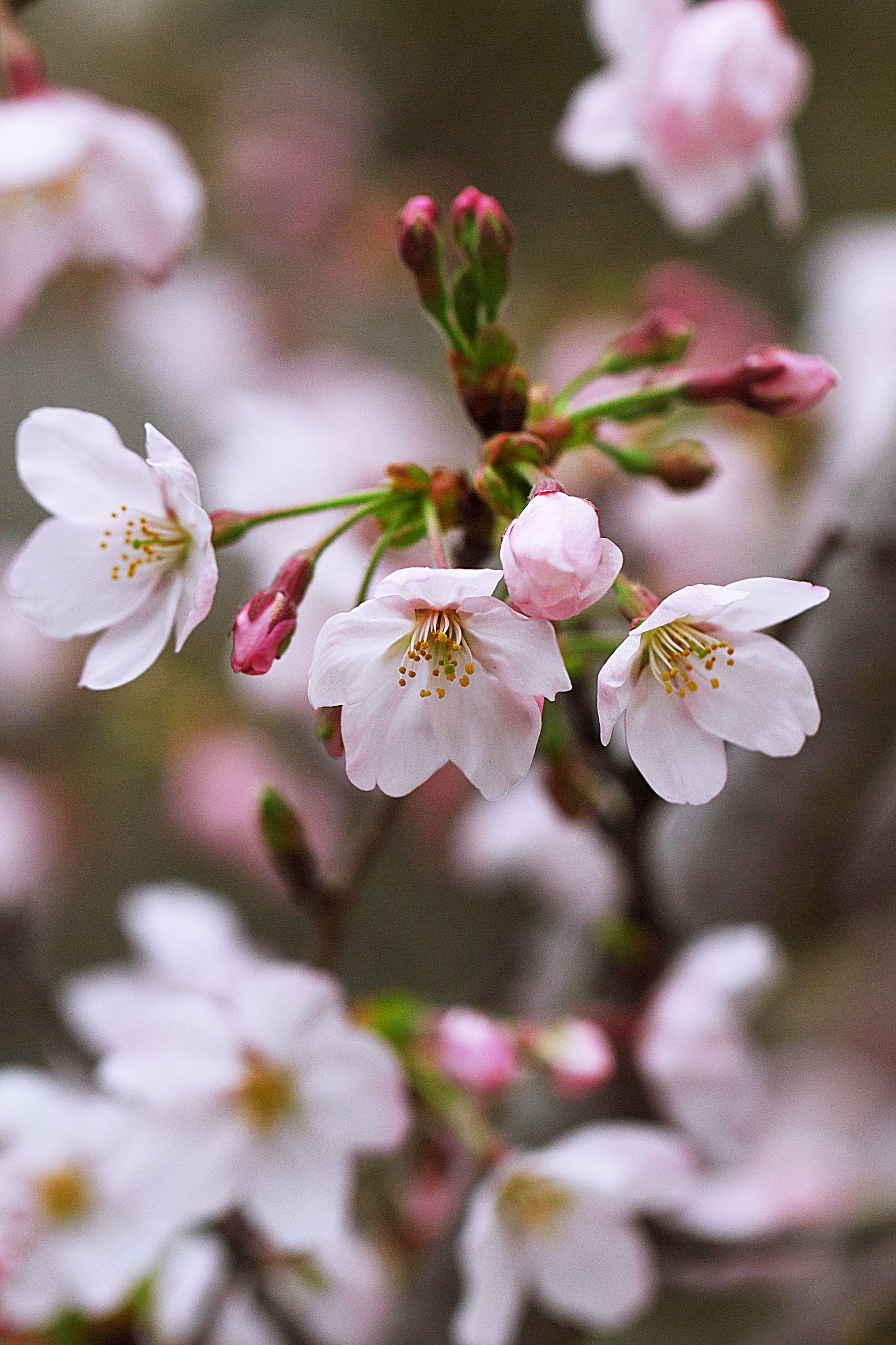 Cherry Blossoma Symbol Of The Beauty Of Spring In Japan Sakura