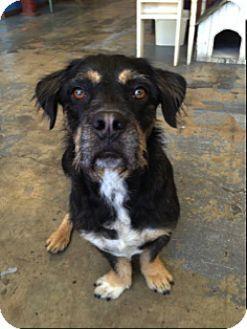 Arcadia Ca Rottweiler Corgi Mix Meet Manny A Dog For Adoption