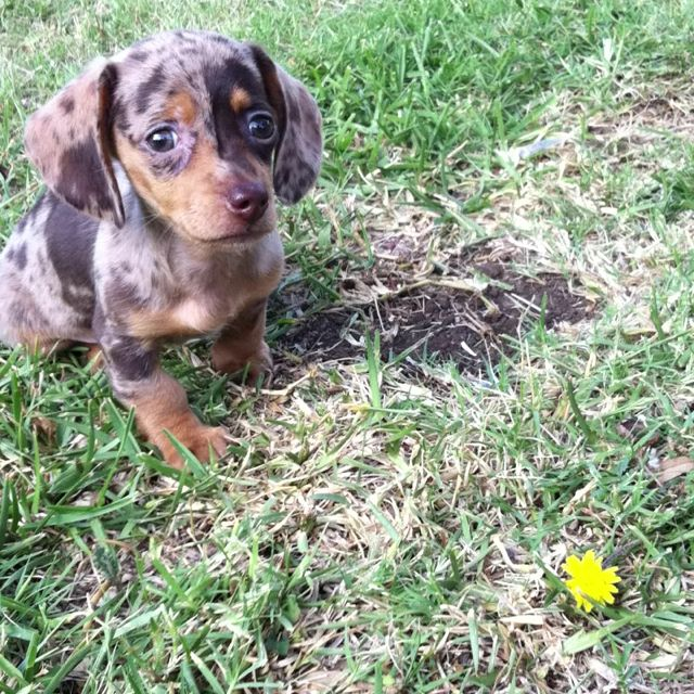 My Adorable Reverse Dapple Dachshund 3 Dapple Dachshund Cute