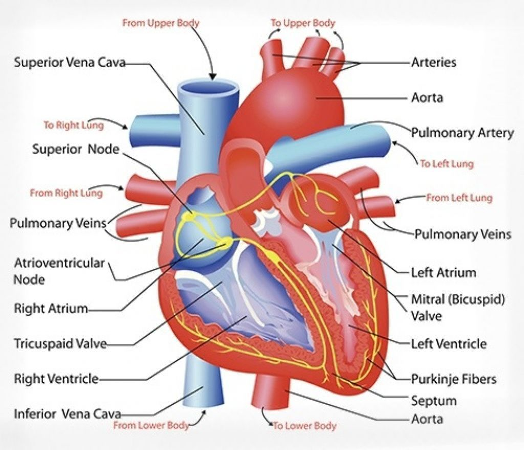 cardiovascular system heart diagram | get in my brain | pinterest