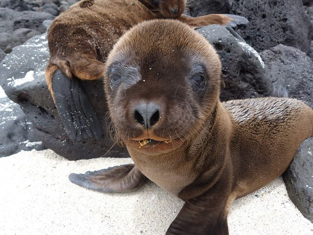 Cría de león marino de Isla Santa Fe (Galápagos) | Animales ...