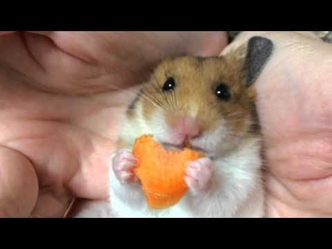 Гиф хомяк ест морковку
