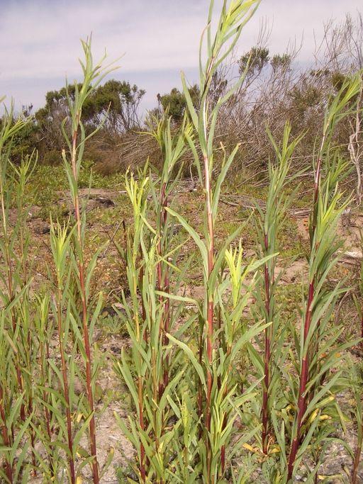 Euthamia occidentalis Plants, Herbs, Garden