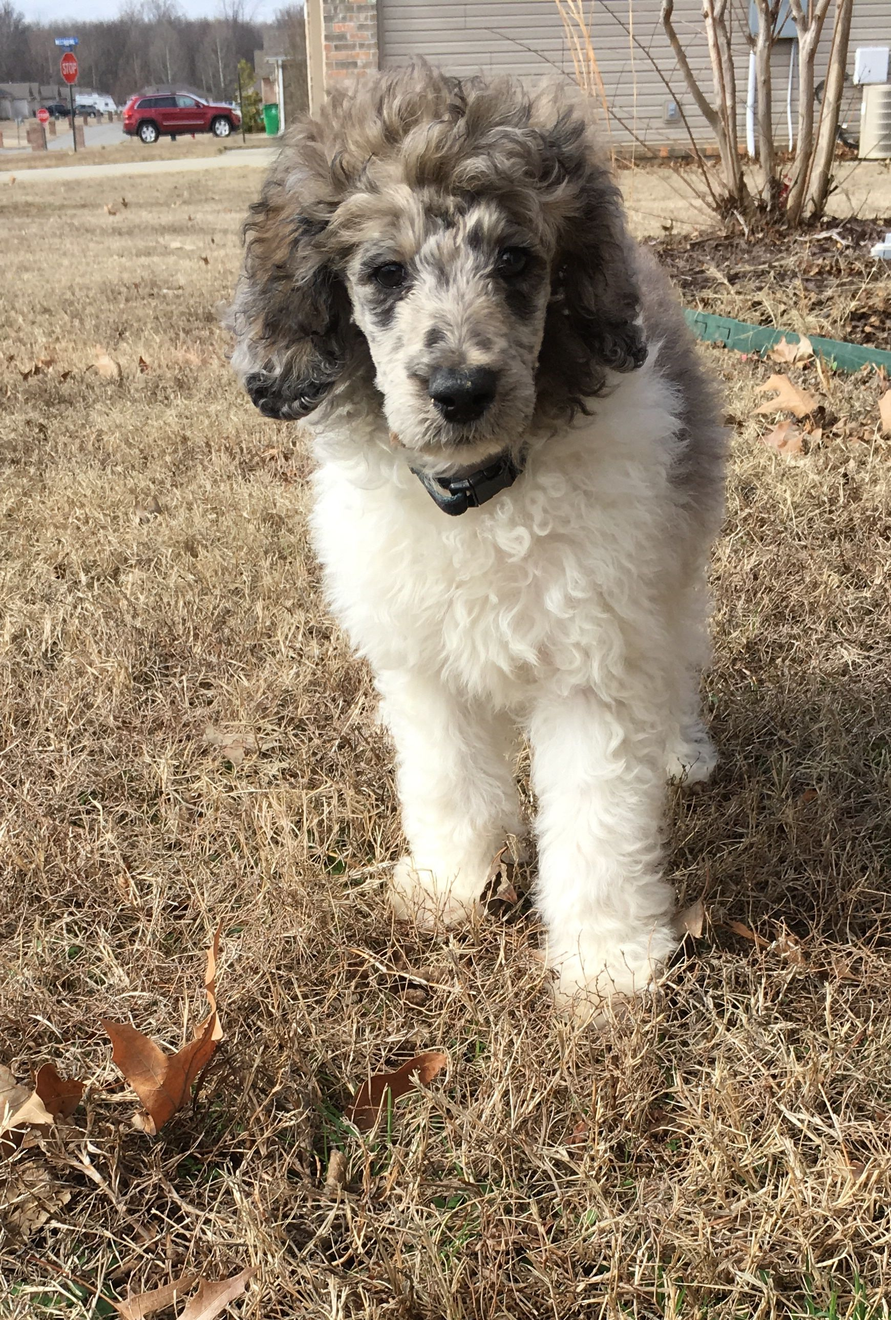 Our Little Boy Cache Parti Sable Brindle Merle Standard Poodle