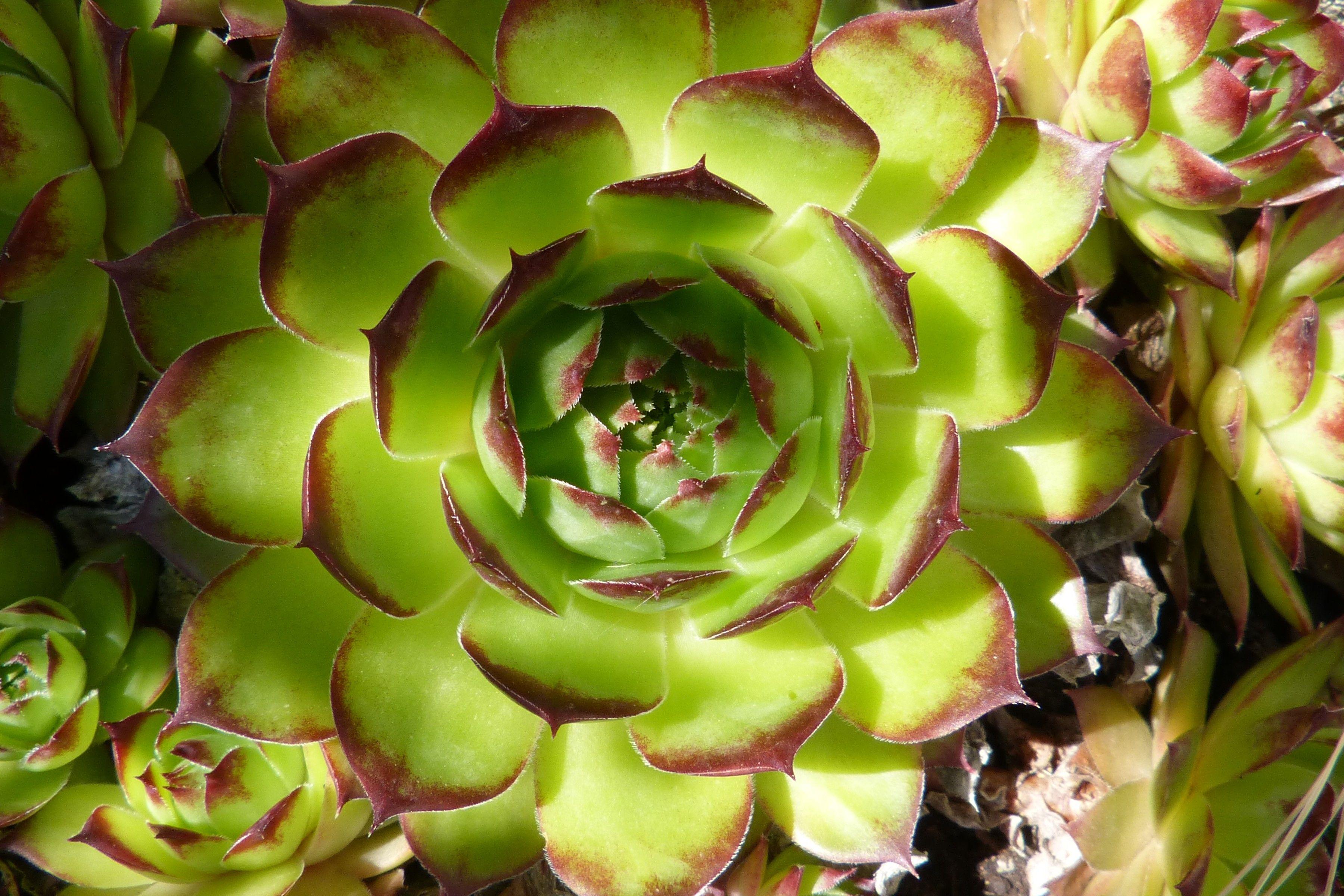 Aeonium Plante Grasse En Forme D Artichaut Ne Craint Ni Le Gel Ni