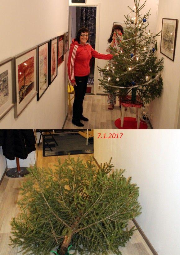 joulu päättyi.jpg Päättyy joulu vaik ei kenkään sois, joulukuusi viedään pois,pois, pois.... Näppärä ja komea oli joulukuusi. Vasta vuodenvaihteen jälkeen pudotti ensimmäiset neulasensa. Nyt kuusi riisuttiin koristeista, ulkona sahasin oksat ja pilkoin kuusen. Nyt se odottaa auton peräkontissa mustassa jätesäkissä viimeistä matkaansa Lohijärvelle.