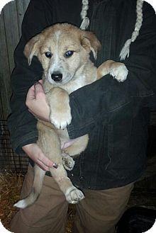 12 2 Pictures Of Aspin Ivy A Australian Shepherdgerman Shepherd