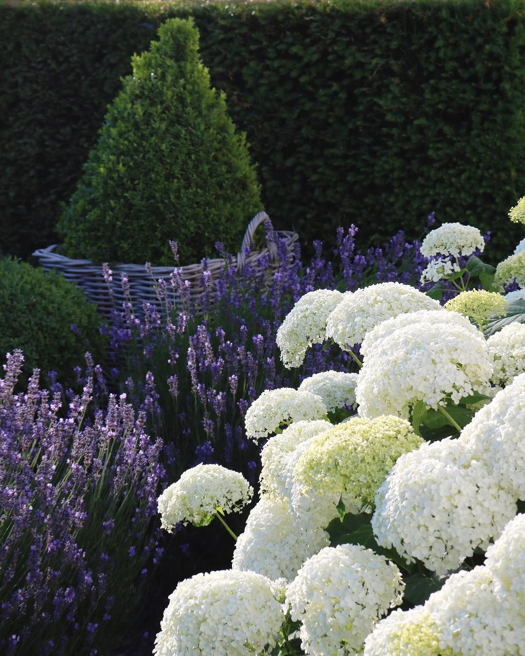 Gina On Instagram White Hydrangeas And Blue Lavenders Make You Dream Of Summer Gardens Wish Yo White Hydrangea Garden Hydrangea Garden Hydrangea Landscaping