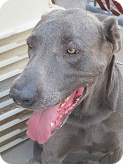 Fitech A Great Dane Weimaraner Mix For Adoption In El Paso Tx