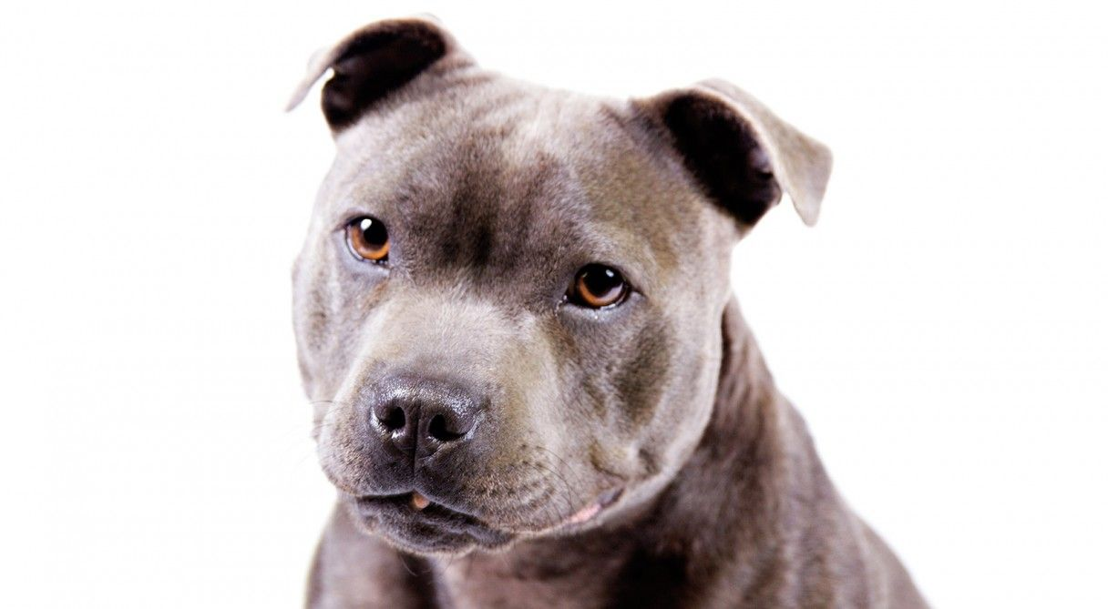 Staffordshire Bull Terrier Dog Breed Information Dog Breeds
