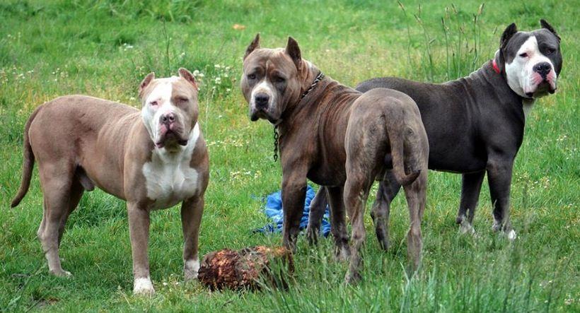 Oregon Xxl Pitbulls Pitbull Xxl Pitbulls Dogs